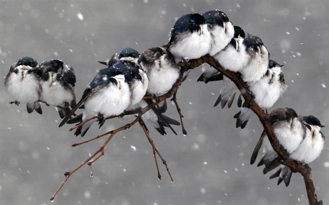 mnogo vrabaca